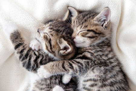 Two small striped domestic kittens sleeping hugging each other at home lying on bed white blanket funny pose. cute adorable pets cats Фото со стока