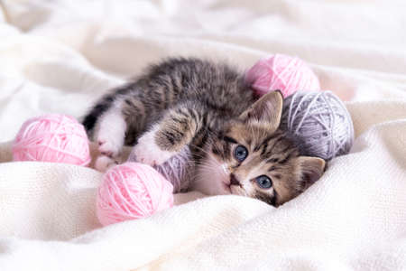 Striped cat playing with pink and grey balls skeins of thread on white bed. Little curious kitten lying over white blanket looking at camera. Фото со стока