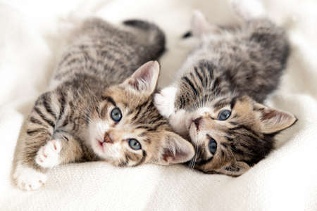 Two little striped playful kittens playing together on bed at home. Looking into the camera. Healthy adorable domestic pets and cats