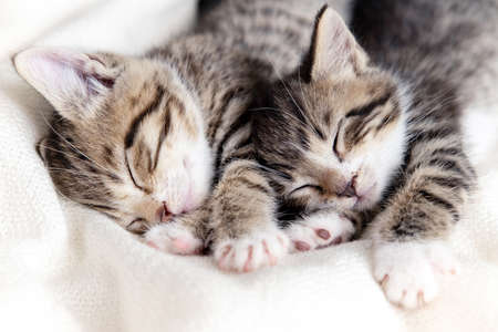 Two small striped domestic kittens sleeping at home lying on bed white blanket funny pose. cute adorable pets cats.