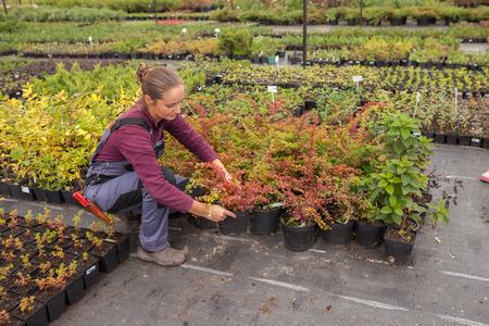 transplants: woman gardener transplants and rearranges potted plants, garden center