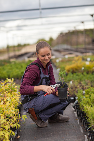 transplants: woman gardener transplants and rearranges potted plants, garden center