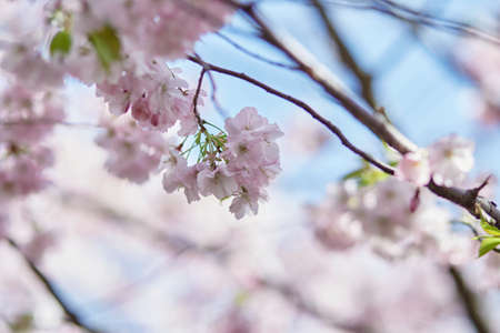 Sakura flower tree. Delicate branch in sunny day. Spring background. Tenderness concept. Pink flowers. High quality photo