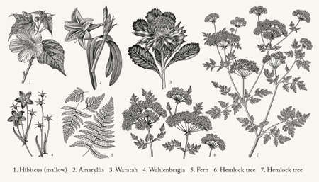 Botany. Set tropical exotic realistic isolated flowers. Amaryllis Waratah Hibiscus Wahlenbergia Fern Hemlock tree. Nature Australia victorian vintage retro. Drawing engraving. Vector Illustration. Illustration