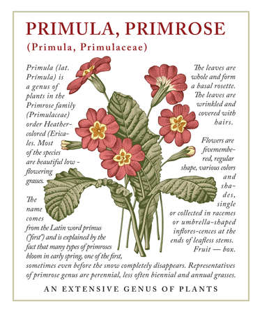 Primula Primrose. Beautiful blooming realistic isolated flowers. Vintage greeting invitation card. Frame, label. Drawing engraving Freehand. Floral medical nature. Vector stock victorian illustration