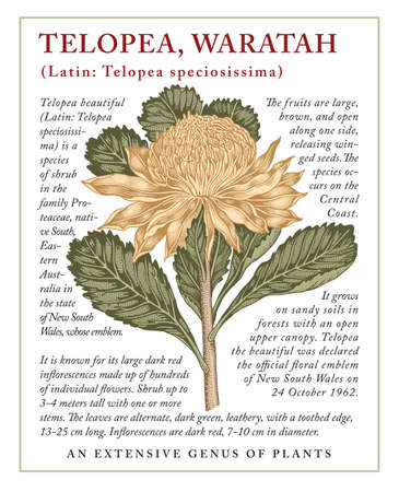 Waratah, Telopea. Beautiful blooming realistic isolated flowers. Vintage greeting invitation card. Frame, label. Drawing engraving Freehand. Floral medical nature. Vector victorian illustration.