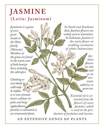 Jasmine. Beautiful blooming realistic isolated flowers Vintage greeting invitation card Frame label Drawing engraving. Freehand. Floral medical nature Vector stock victorian illustration. Stock Vector - 158008403