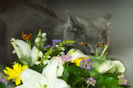 enthusiastically: Cat gray color, enthusiastically sniffing bouquet of fresh flowers