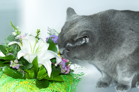 sniff: Cat sable liked the smell of flowers in a basket