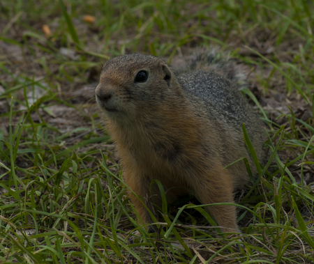 vigilance: The gopher has stood waiting for food, against the background of a grass Stock Photo