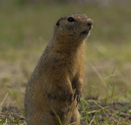 vigilance: The little gopher standing on hinder legs