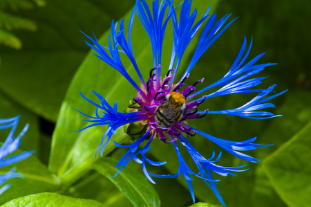 glades: the little bee collects nectar on brightly blue flower with pink core
