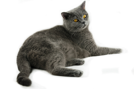 The gray cat of the British breed, thoughtfully looks aside, on a white background