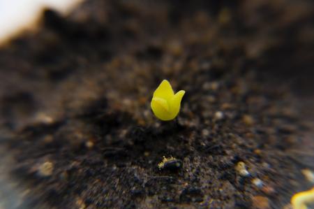ヒマワリの種から登場したのサボテンの小さな芽のクローズ アップ 写真素材
