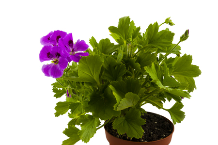 the geranium blossoming in pink colors in a flowerpot on a white background