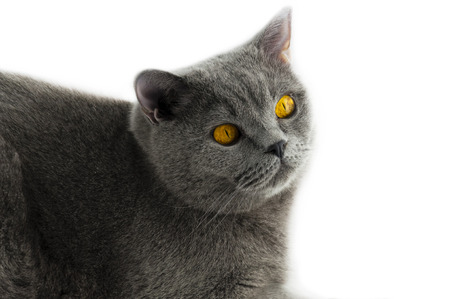 moustached: the cat of the British breed, gray color with brightly yellow eyes looks aside. On a white background