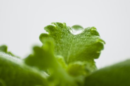 close up of a drop of water on a leaf of a plant, with carved edge and a fluffy surface on a light background Stock Photo