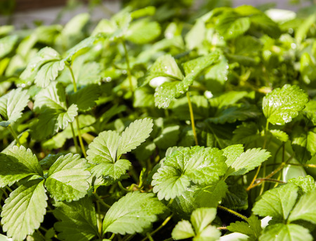 strawberry berry bushes, background from brightly green leaves, close up Stok Fotoğraf - 79998879