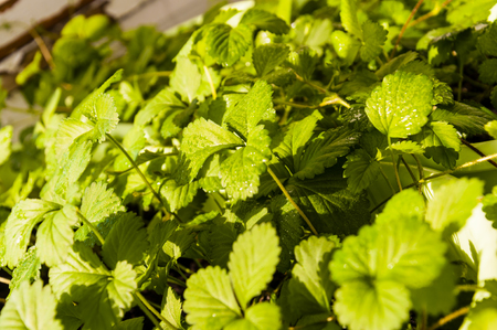 strawberry berry bushes, background from brightly green leaves, close up Stok Fotoğraf - 79999524