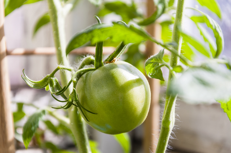 fruit of vegetable of a tomato, green color on a branch, close up