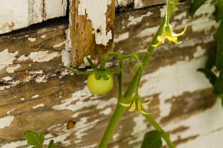 fruit of vegetable of a tomato, green color on a branch, blossoming of a tomato, close up against the background of a wooden wall with old white paint Stok Fotoğraf - 79999526