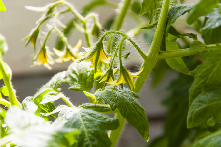 it is a lot of small flowers of yellow color, on a branch, blossoming of a tomato, close up
