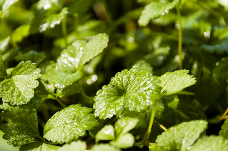 strawberry berry bushes, background from brightly green leaves with water drops, close up