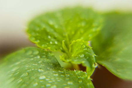 A close-up of a green rosette of Völlers balsam leaves, with small drops of water Reklamní fotografie