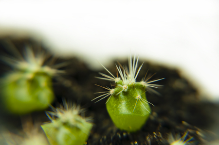 Close-up of small cactus shoots on a background of dark soil