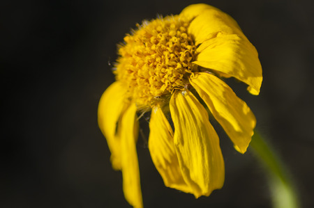 close up of a flower of yellow color on a dark indistinct background Фото со стока
