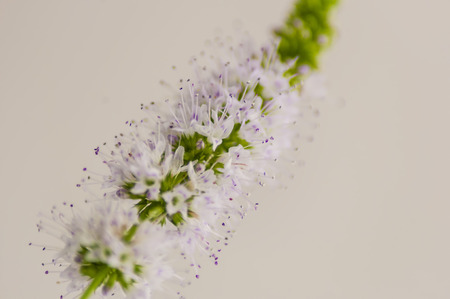 close up of an inflorescence of mint, on an indistinct background