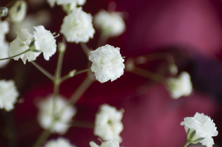 gypsophila inflorescence, white, fluffy flowers on a dark red background Stock Photo