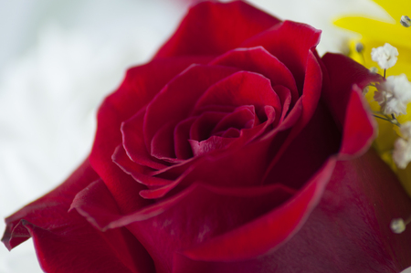 rose of dark red color close-up on a light background