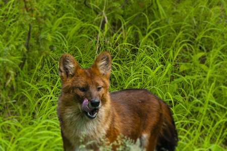 red wolf with his tongue hanging out on a background of green grass Stock Photo