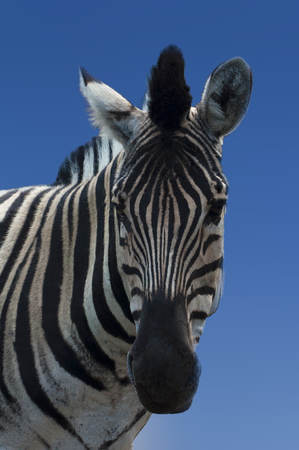 close-up portrait of a striped Zebra on a background of blue sky