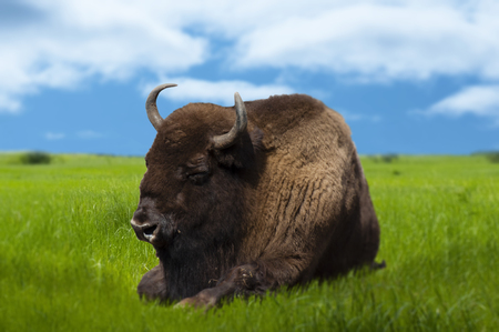 bison resting in the meadow of green grass, closeup with blurred edges