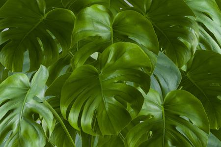 Large bright green leaves monstera, with slots on the leaves.