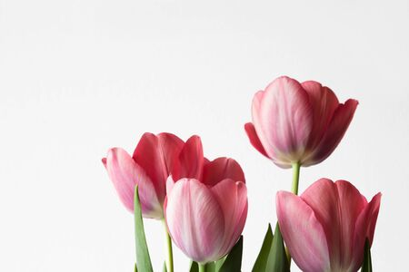 spring pink flowers tulips isolated on white background copy space