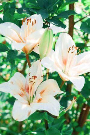 Lys blancs sur l'arrière-plan flou Banque d'images