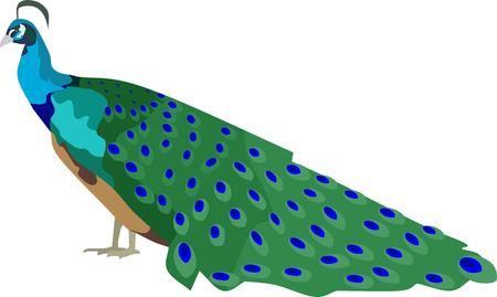 Peacock Bird Animal Vector Illustration 矢量图像