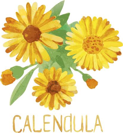 calendula: Calendula. watercolor drawing
