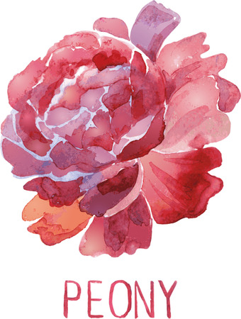 lush: Gorgeous dark red peony flower. Watercolor illustration lush flower on a white background
