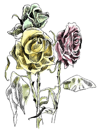 A drawing of dried roses. Colorfull picture 일러스트
