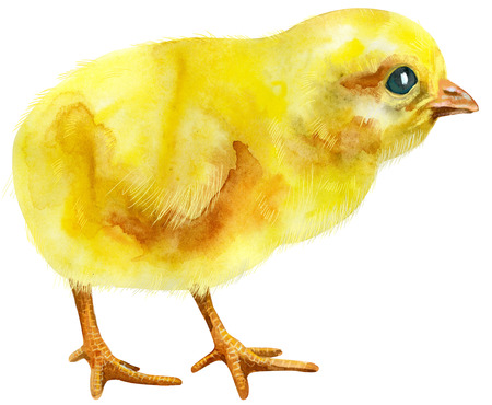Hand painted young chicken isolated on white background. Cute baby bird illustration for design Stock Photo