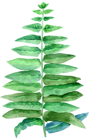 Green leaves of fern isolated on white background Banco de Imagens