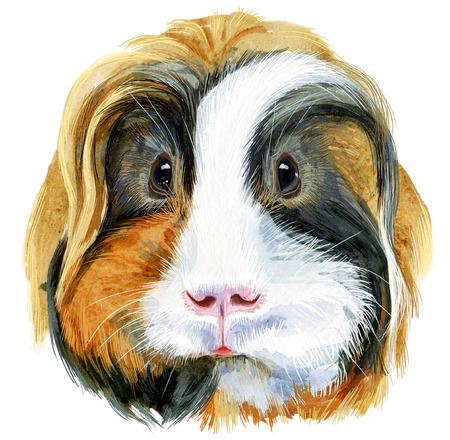 Watercolor portrait of Sheltie Guinea Pig on white background