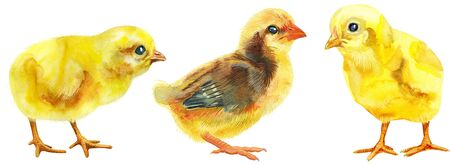 Watercolor illustration of three yellow furry chickens