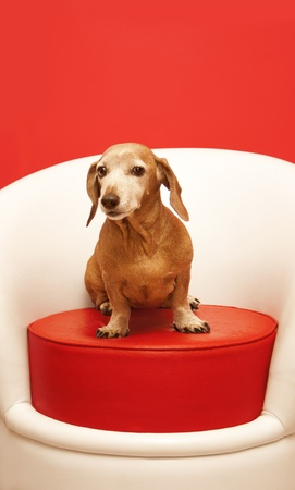 dachshund sitting on a red pouf photo