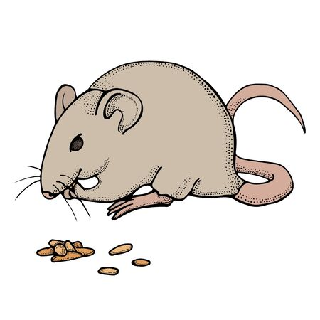 Hand drawn mouse or rat eats grain. Vector with mammal animal isolated on white background. Illustration for T-shirt graphics, books images, poster, textiles.