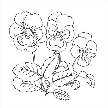 botanika: Pansy Skica černé a bílé vektorové ilustrace Ilustrace